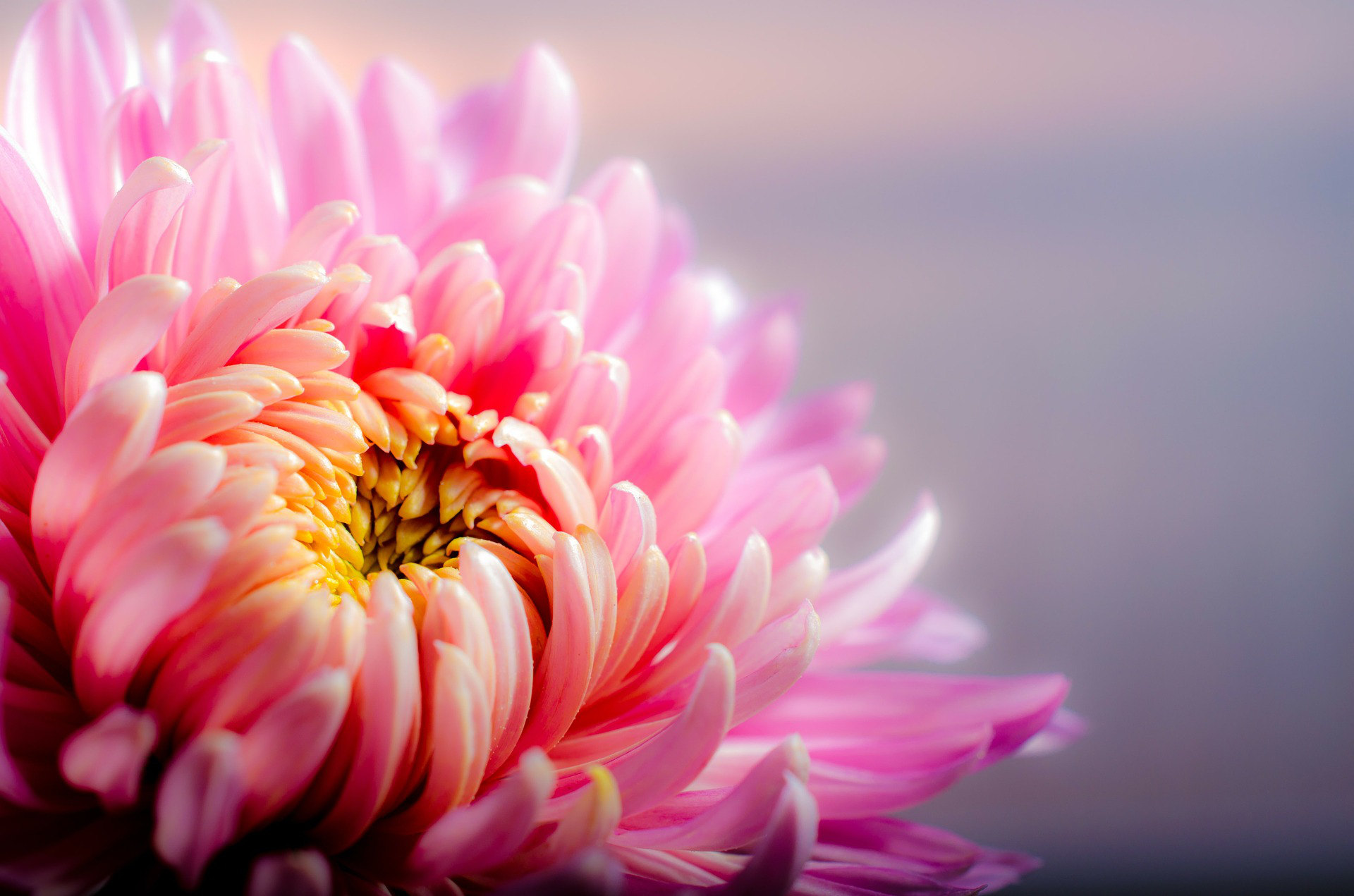 chrysanthemum-202483_1920